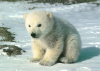 avatar_Polar_BearXL
